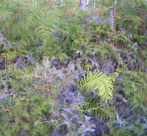 Waipoua_Forest